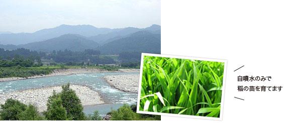 濱田ファームのお米は自噴水のみで 稲の苗を育てます