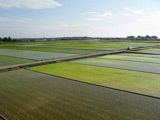 苗の間隔を広くあけて植え、なるべく農薬は使用しません