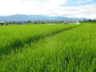 強い、健康な稲たち