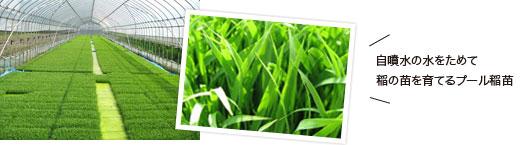 自噴水の水をためて 稲の苗を育てるプール稲苗