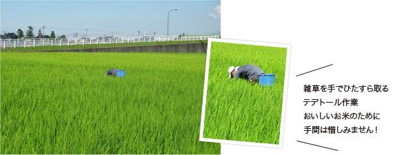 雑草を手でひたすら取る テデトール作業 おいしいお米のために 手間は惜しみません!